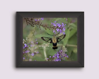Hummingbird moth print, hummingbird photo print, nature photography, hummingbird moth photograph, hummingbird print,wall decor, nature decor