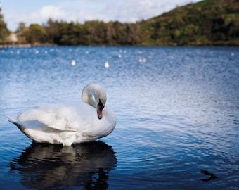 Swan Lake: A6 Photography Art Print  (Nature, birds, wildlife photography)
