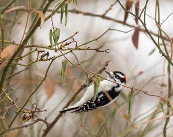 Downy Woodpecker Photo Print - Wildlife Photography - Bird Photography - Nature Photography - Gifts for Nature Lovers - Woodpecker Photos