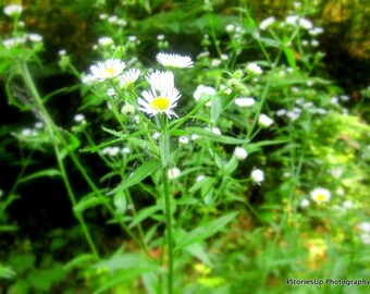 Wild Daisies in Virginia, Nature Photography Digital Download, Flowers in Bloom, DIY Home Decor, Instant Download, James River, Daisy Flower
