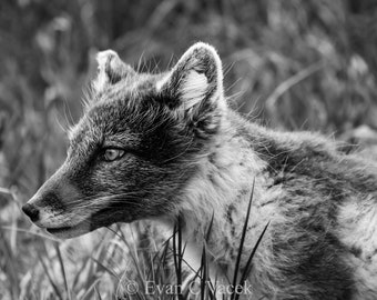 Summer Arctic Fox