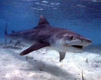 Tiger Shark - # 2 on the Most Dangerous Shark list