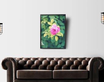 Pink Rose print, rose, flower