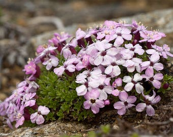 20 Silene acaulis Seeds, moss campion or cushion pink