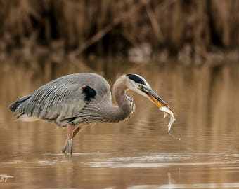 Great Blue Heron Fishing, Bird Art, Bosque del Apache, New Mexico, Wildlife Art, Bird Photography, SynVisPhotos, Steve Traudt, Home Decor