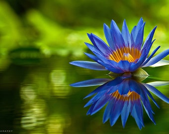 Blue Lotus Extract 10:1
