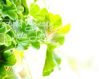 Geranium Leaves Photography, Green Leaves, Print, Macro Photography, Geranium
