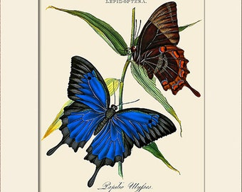 Butterfly Art Print with Mat, Note Card, Plate 20, Donovan, Papilio Ulysses, Natural History, Wall Art, Wall Decor, Butterfly Print