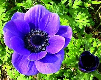 Anemone coronaria, Windflower, 50 seeds, great cut flower, low maintenance, perennial, zones 7 to 10, great cut flower, grown in the USA