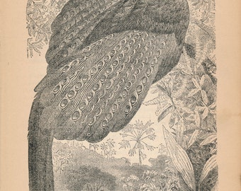 1887 Pheasant Antique Print