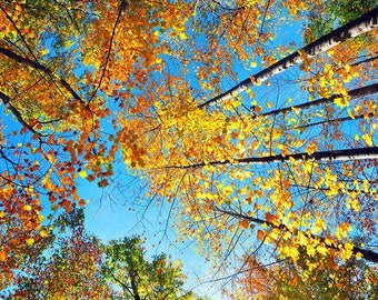Fine Art Photography, Landscape, Looking Up Fall Tree Print, Fall wall decor, Fall wall art, Tennessee photography ,