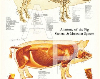 """Pig Skeletal and Muscular Anatomy Poster - 18"""" X 24"""""""