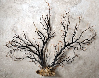 "Black Sea Fan (7-10"") - Gorgonia Ventalina"