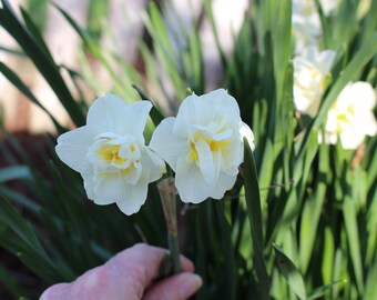 Double White Daffodils, Double White Daffodil Bulbs, Spring Bulbs