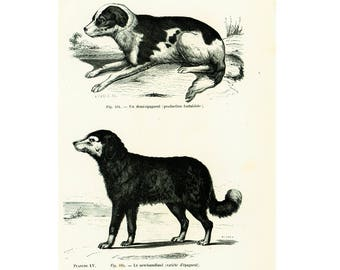 1867 Spaniel Dogs, Newfoundland, Vintage dog illustration, Dog Breeds wall art, Cynology