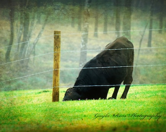 Cow Photography,Dexter Cow Photo,Farm Animal,Rustic Wall Art,Black Cow,WesternPhoto,Farmhouse wall art,Ranch Photo,Country Fence,Cow Pasture