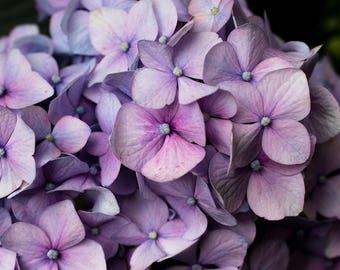 Gardening Gift, Hydrangea Photo, Hydrangea Print, Purple Flower Photography, Floral Wall Decor, Large Photography, Purple Wall Decor