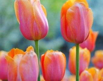 Nature Photography: Pink Tulips CANVAS