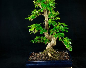 Chinese Privet Chuhin Bonsai Tree - Ligustrum Sinense # 4509