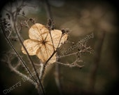 single hydrangea flower, browns and cream, end of summer, skeleton petal, bare branches, - fine art digital photographic print