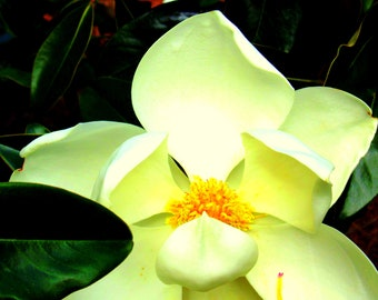 Magnolia flower photo, fine art photo, digital download
