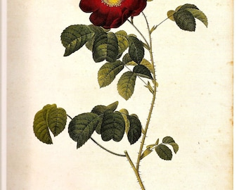 Botanical Print Rose REDOUTE 2007 FRENCH ROSES Doublesided Book Plate 181 182 Burgundy French Rose Violacea and Single Boursault Rose