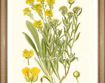 "Botanical Print. Alyssum. Yellow flower print. Floral Print. Botanical Wall Art. 5x7"",  8x10"" 11x14"""