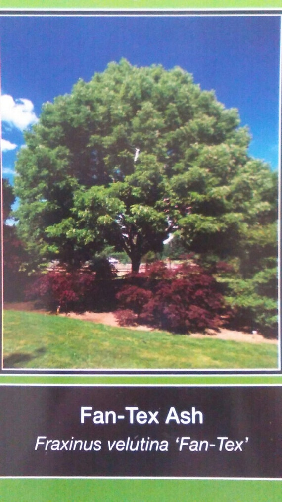 Fan Tex Ash Tree 5 Gallon New Plants Large Plant Easy To Grow