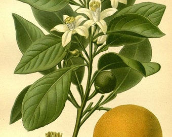 Sweet Orange Victorian botanical print illustration reproduction print