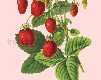 antique french victorian botanical print strawberries illustration DIGITAL DOWNLOAD