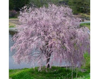 "Yoshino Weeping Cherry Tree, Pale Pink Blossoms, White Flowers, Landscaping, Full Sun, Decidious Tree, 3 Plants 2.5"" pot, Beautiful"