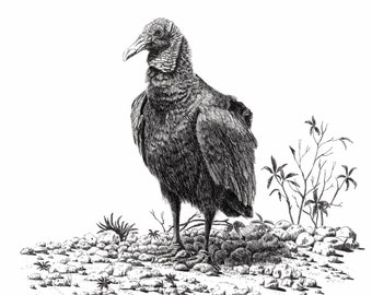 Vulture art, pen and ink,vulture drawing,tropical art, Everglade prints,Vulture prints, Florida bird art, Florida art,bird art, original art