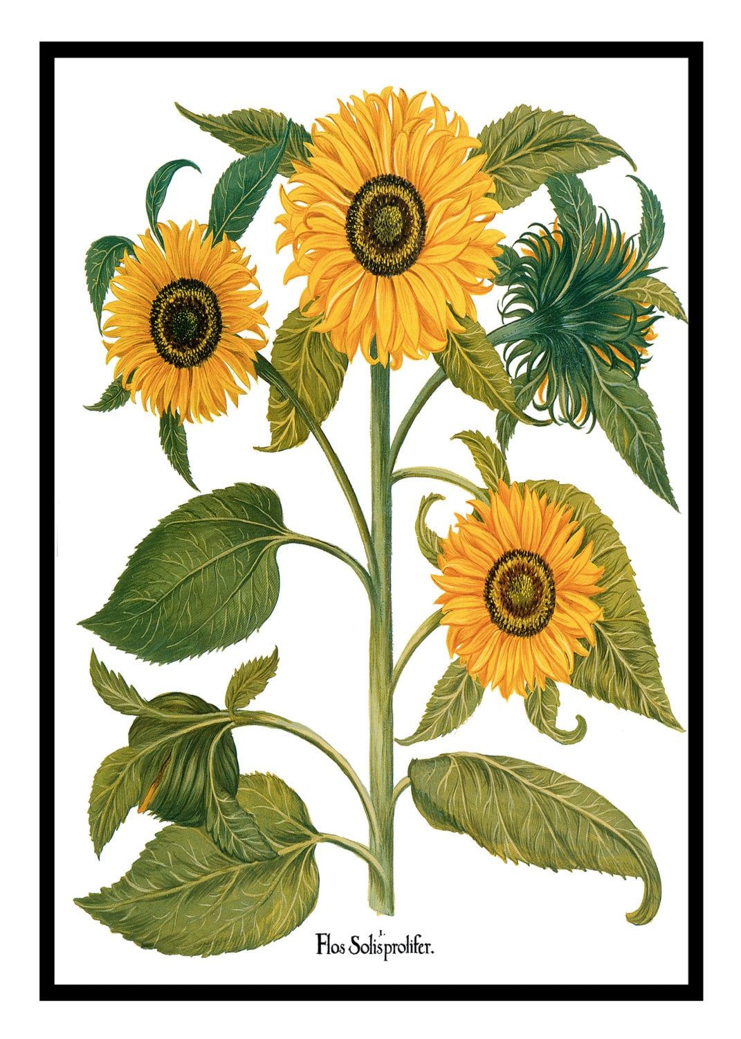 SUNFLOWER BOTANICAL PRINT - Free Shipping -Matted And Framed ...