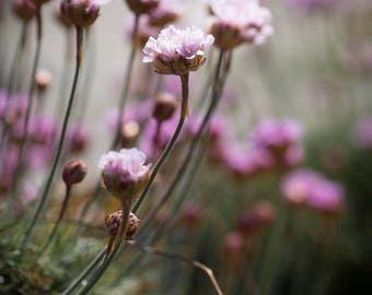 Seaside Wildflower Print - Sea Pinks on the Beach Fine Art Photograph - Irish Botanical Art