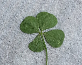 Real Picked Four Leaf Clover