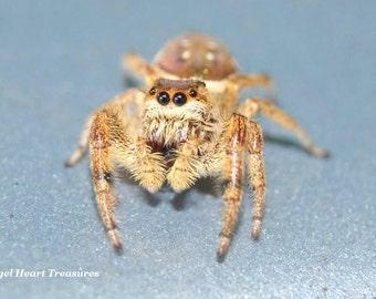 "5x7 Nature Inspired Single Photo Greeting Card--Hello--Brown Arachnid--""Joyful Jumping Spider""--#101--Bug Critter Eight Legged Smiling Happy"
