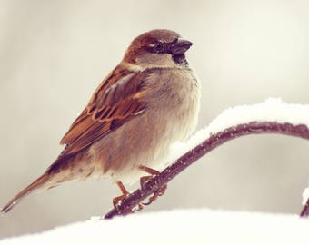 Sparrow in the Snow, Snow, Shropshire, Photography Print - 12x8 inches.