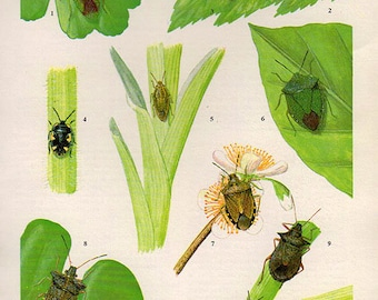 Antique print. FLYING INSECTS 31 Colored lithograph 57 years old print. Antique beetle insect print plate.6 x 4.25 inches, 15x10.75cm