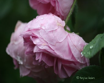 Pink Rose photo, Fine Art Photography, perfect for shabby chic decor