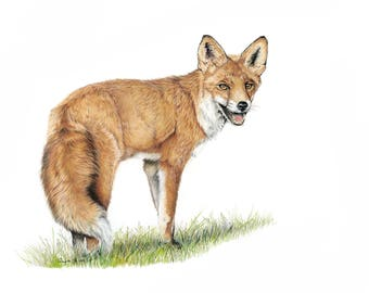 Morning Stroll Red Fox - Limited Edition Giclee print from an Original painting by Gayle Mason