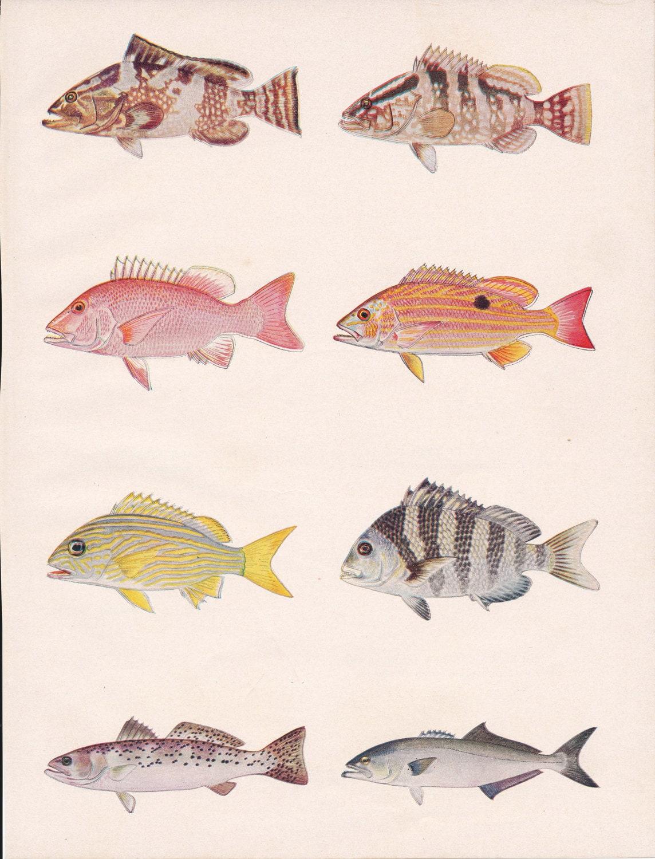 1950-Fisch Vintage Print Anzeige rot Zackenbarsch