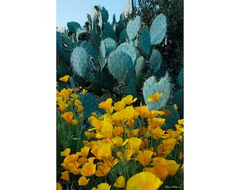 Photograph of Prickly Pear Cactus With Wild Poppies in Arizona, printed on metal and ready to hang
