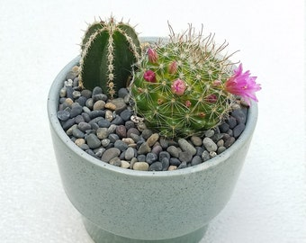 Cactus Variety in Speckled Planter