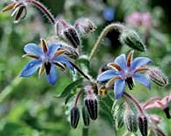 Borage Heirloom Herb Seeds Bee Bread Edible Flowers Medicinal Non-GMO Naturally Grown Open Pollinated Gardening