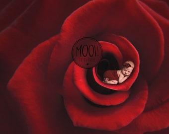 Digital Prop for Newborn - Digital background - Newborn Photography - Valentine - Flower - Rose