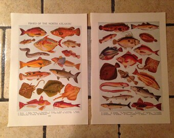 1947 Fishes of the North Atlantic Antique Illustrations