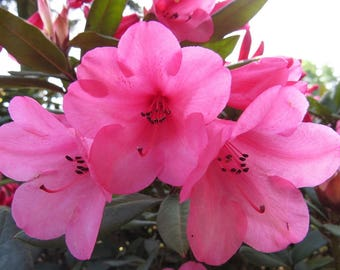 Bell shaped flowers etsy rhododendron winsome hot pink bell shaped blooms hardy to 0 f degrees grows mightylinksfo Choice Image