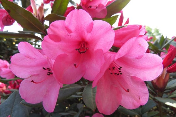 Rhododendron winsome hot pink bell shaped blooms hardy to 0 f rhododendron winsome hot pink bell shaped blooms hardy to 0 f degrees grows to 3 feet 7 container size plant from rhododendronsdirect on etsy mightylinksfo