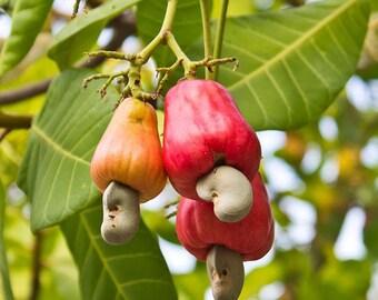 15 Seeds Anacardium occidentale ,Cashew nut Fruit Seeds