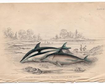 1837 DOLPHIN WHALE ENGRAVING - original antique print - sea life ocean marine mammal - striped & chilean porppoises